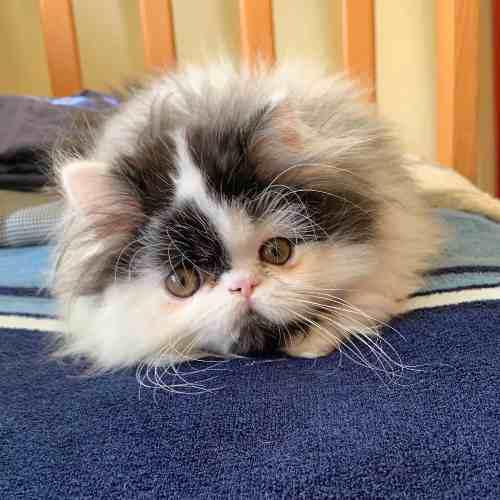 Gatito persa arlequín blanco con negro macho