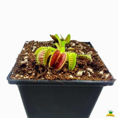 Planta carnívora 'b52' venus atrapamoscas gigante vp