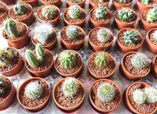 Cactus de colección y plantas suculentas, plantas miniatura