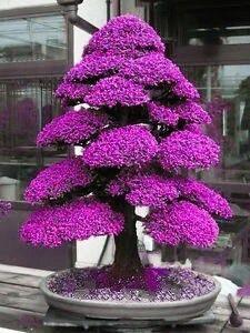 100 semillas bonsai japonés exótico cedro arce roble