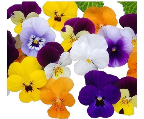Semillas flor pensamiento colores variados