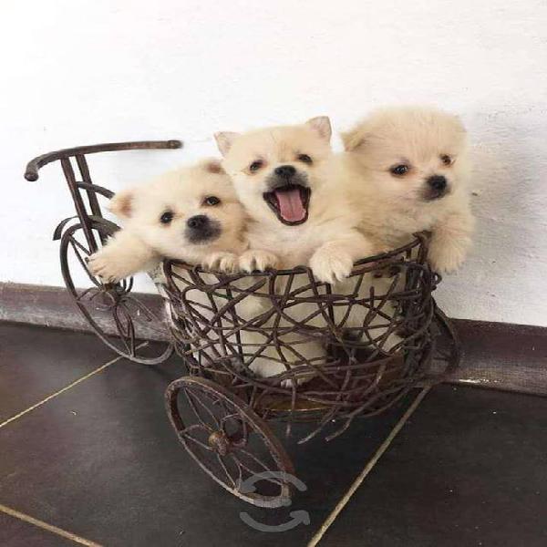 Cachorritos de raza pomerania