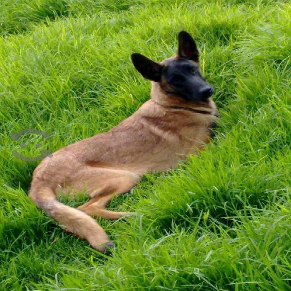 Cachorros pastor belga padres certificado pedigree