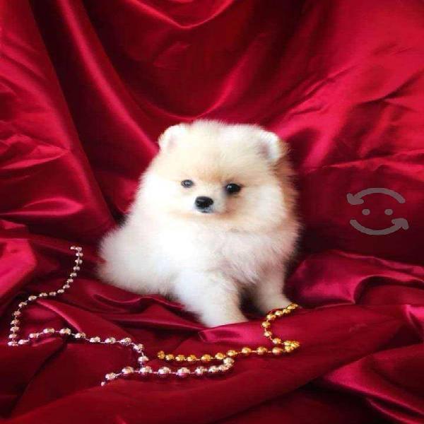 Cachorros de raza pomerania lulu