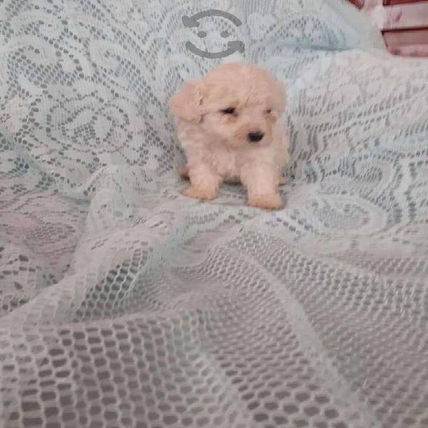 Cachorros french poodle mini toy