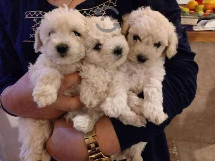 Cachorros french poodle tacita
