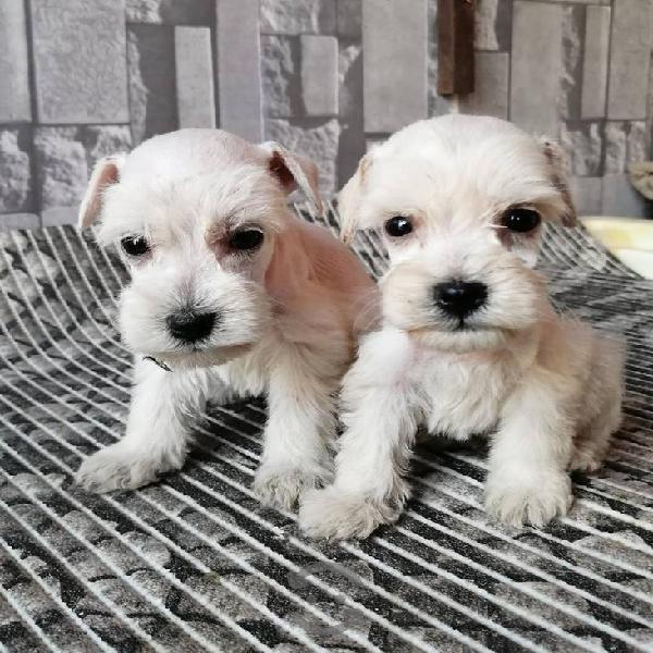 Cachorros schnauzer mini