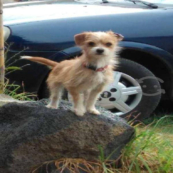 Chihuahuas machos de 1 año