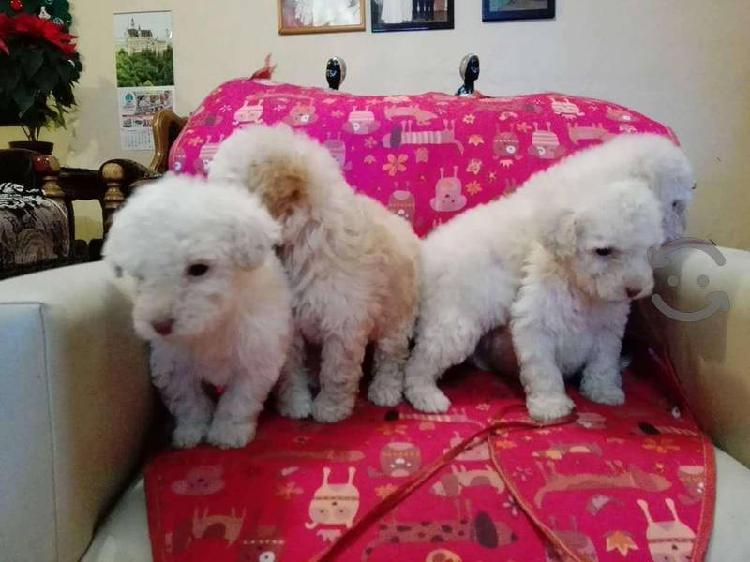 French poodle miniatura
