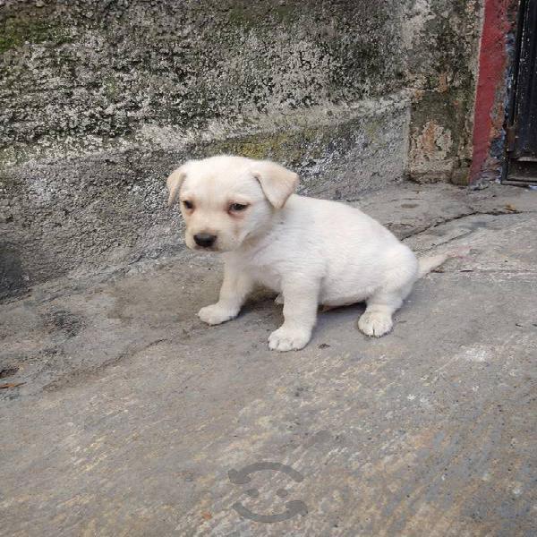Labrador macho moloso buena estampa