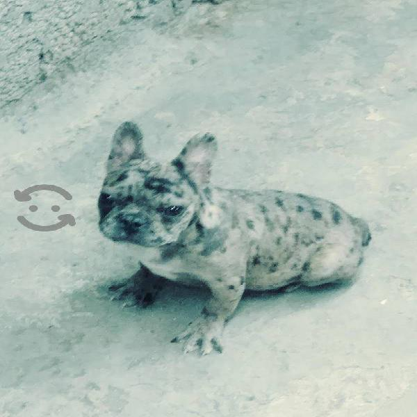 Bulldog francés exotico merle macho de 3 meses
