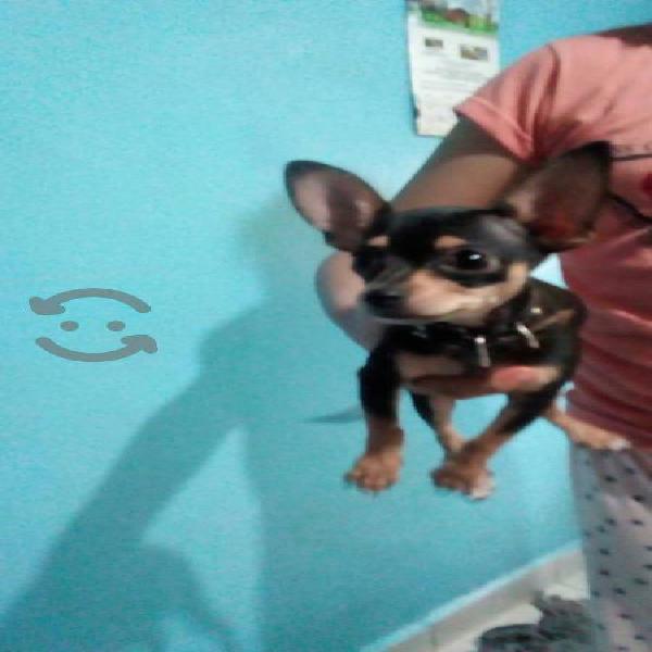Cachorro chihuahueño