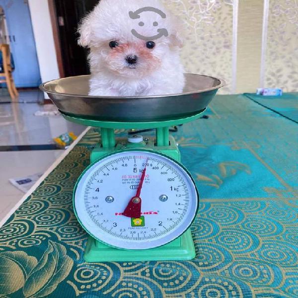 French poodle tacita