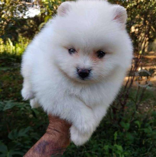 Cachorros de raza pomerania