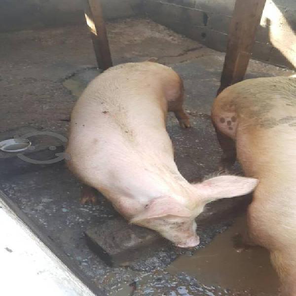 Cerdos y marranos