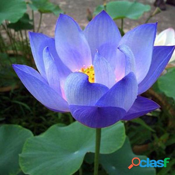 10pcs semillas de flor semillas de loto azul plantas acuáticas plantas de lirio de agua lotus azul de medianoche