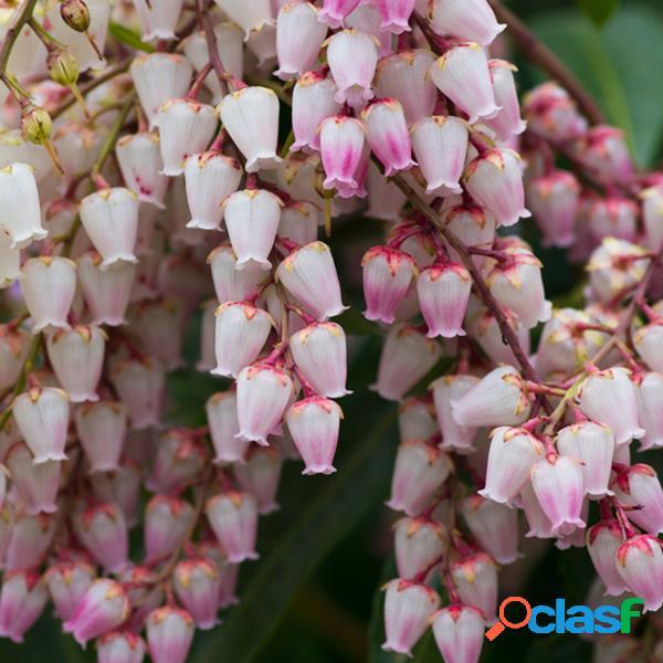 100 unids campanula orchid flower semillas magia jardín bonsai semillas home yard