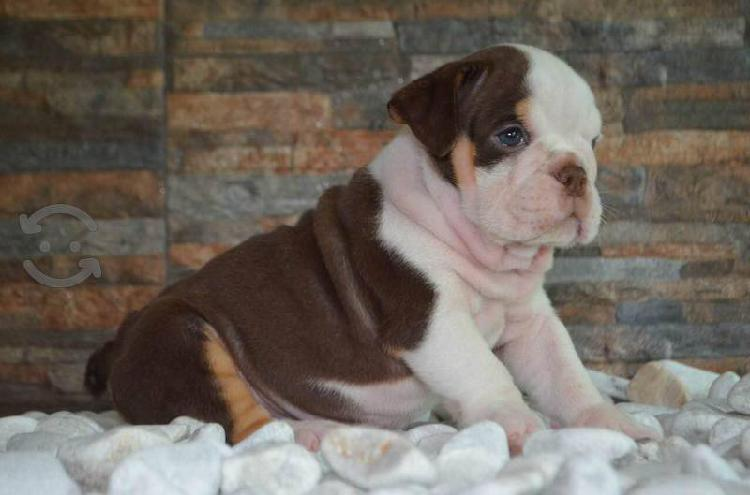 Bulldog inglés exótico chocolate tri hembra