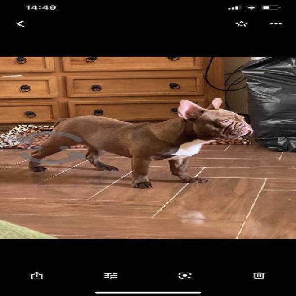 Bulldog francés - monta