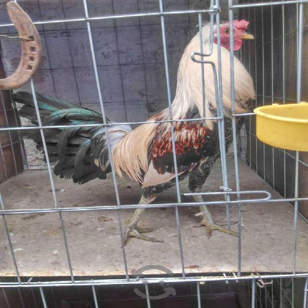 Gallos, gallinas, pollas y pollos finos