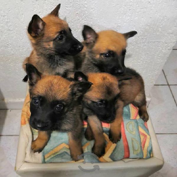 Pastor belga cachorros