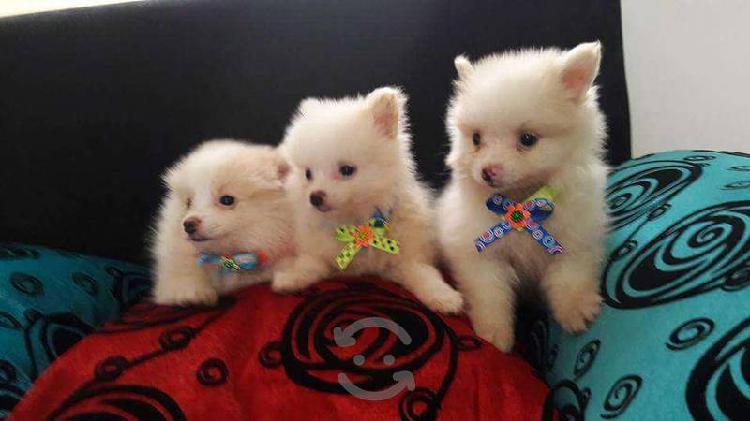 Pomerania cachorros miniatura