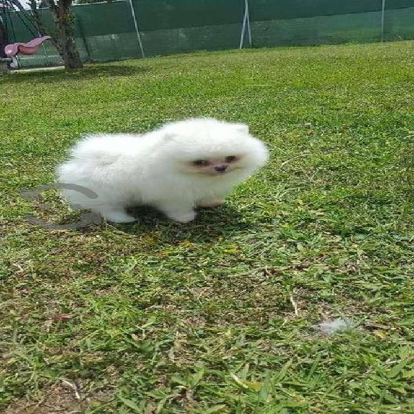 Cachorros de raza pomerania toy