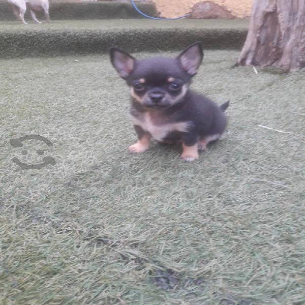 Chihuahuas auténticos.. negro macho y beige macho
