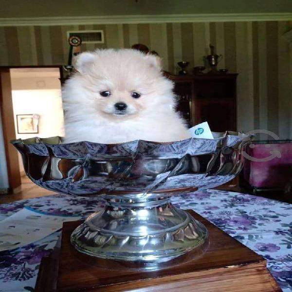 Pomerania cachorros de raza pura