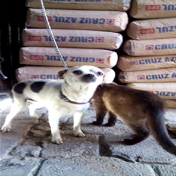 Chihuahua por pug