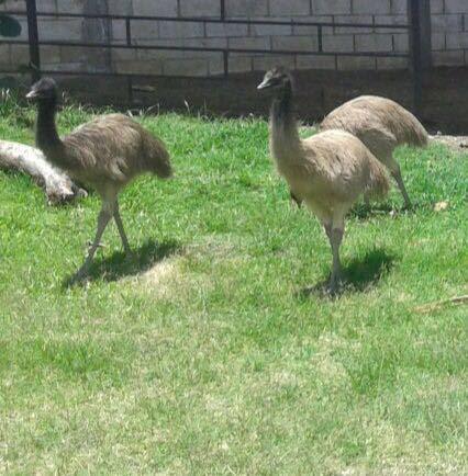 Venta de preciosos emus
