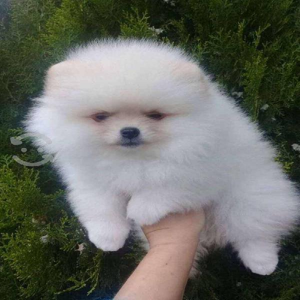 Cachorros de raza pomerania.blancos