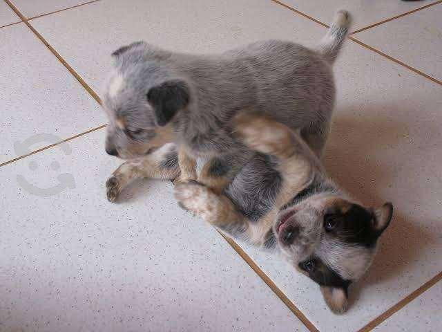 Pastor australiano cachorros