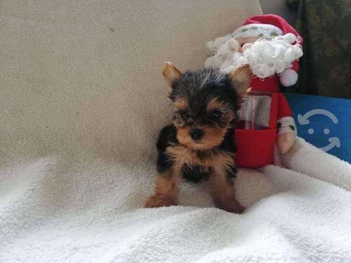 Cachorros raza yorkshire terrier