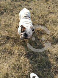Sementales bulldog ingles