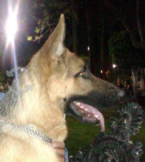 Cachorros pastor aleman 100% linea alemana