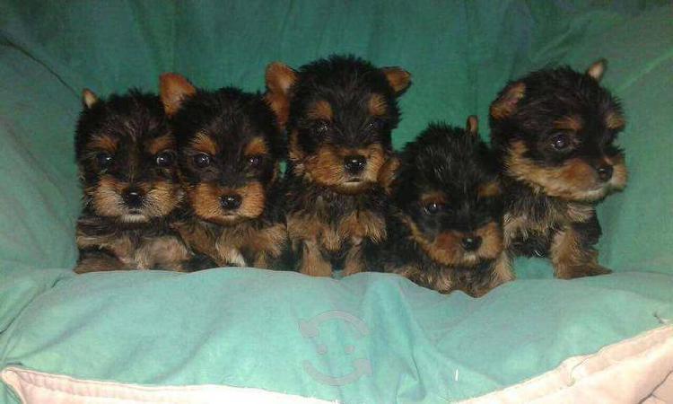 Cachorros de raza yorkshire