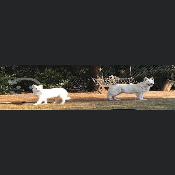 Lindos cachorros pastor suizo blanco pelo largo!