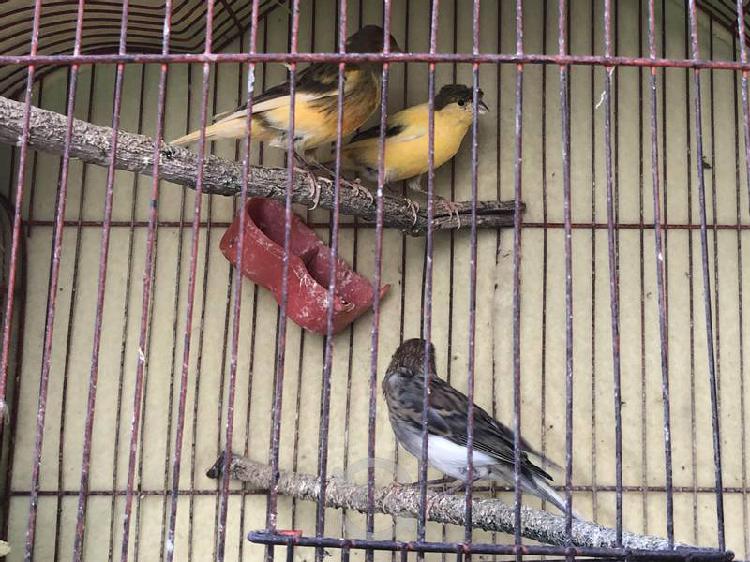 Venta de canarios machos