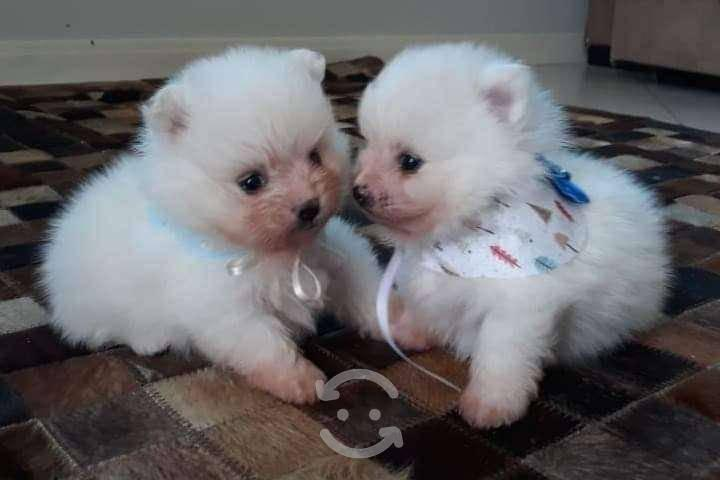 Cachorros de raza pomerania blancos