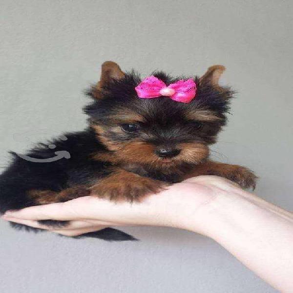 Cachorros de raza yorkshire terrier