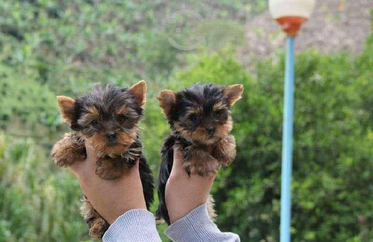 Yorkshire terrier cachorros