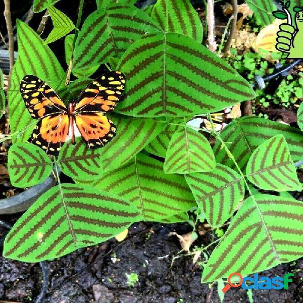 Egrow 5 piezas / paquete obcordata semillas bonsai mariposa verde para el jardín de su casa planta
