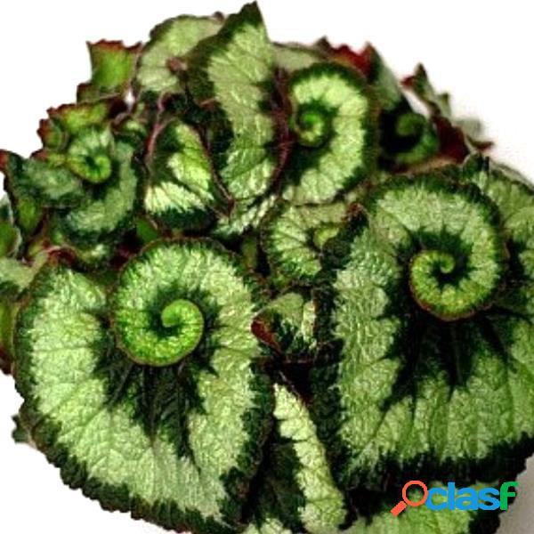 100 piezas / bolsa flor de coleo verde semillas bonsáis hermosos para interiores / al aire libre planta