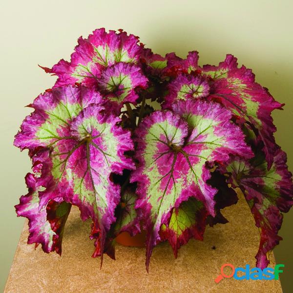 100 piezas rosa flor de coleo verde semillas magia jardín bonsái semillas patio de casa