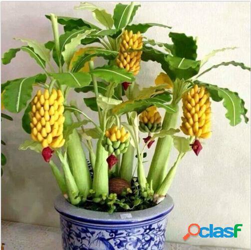 30 piezas de plátano enano semillas bonsai tree tropical fruit semillas flor de balcón para plantas caseras