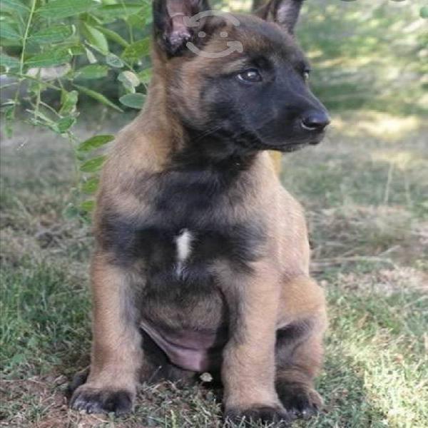 Legítimos cachorros pastor belga