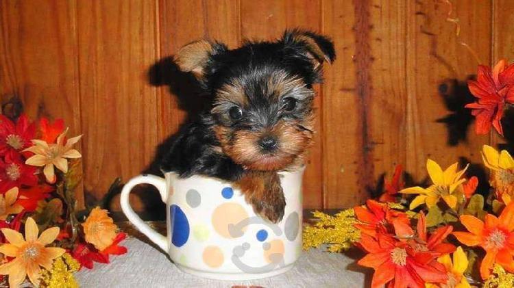 Yorkshire terrier de raza autentica