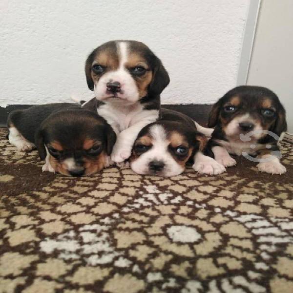 Beagle tricolor mini