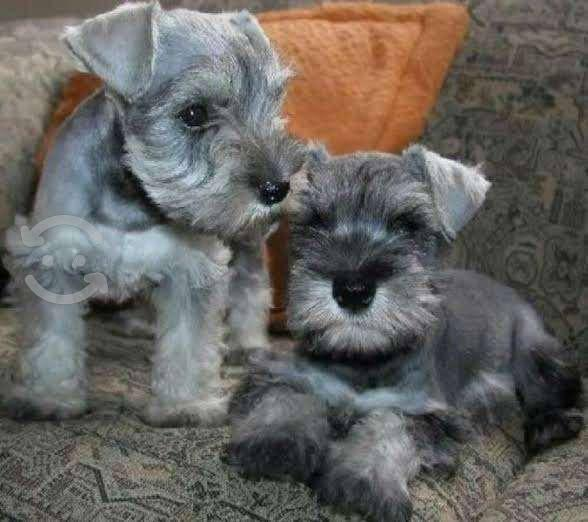 Compro cachorros de raza